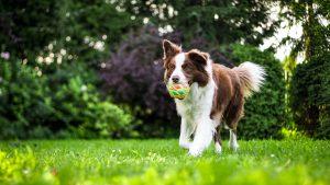 shepherd playing fetch