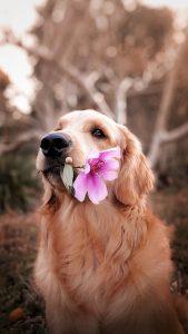 cute retriever with flower